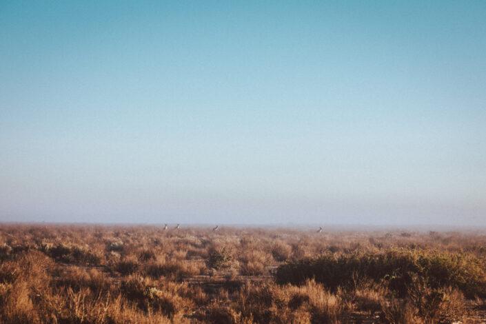 Kangaroos in morning mist